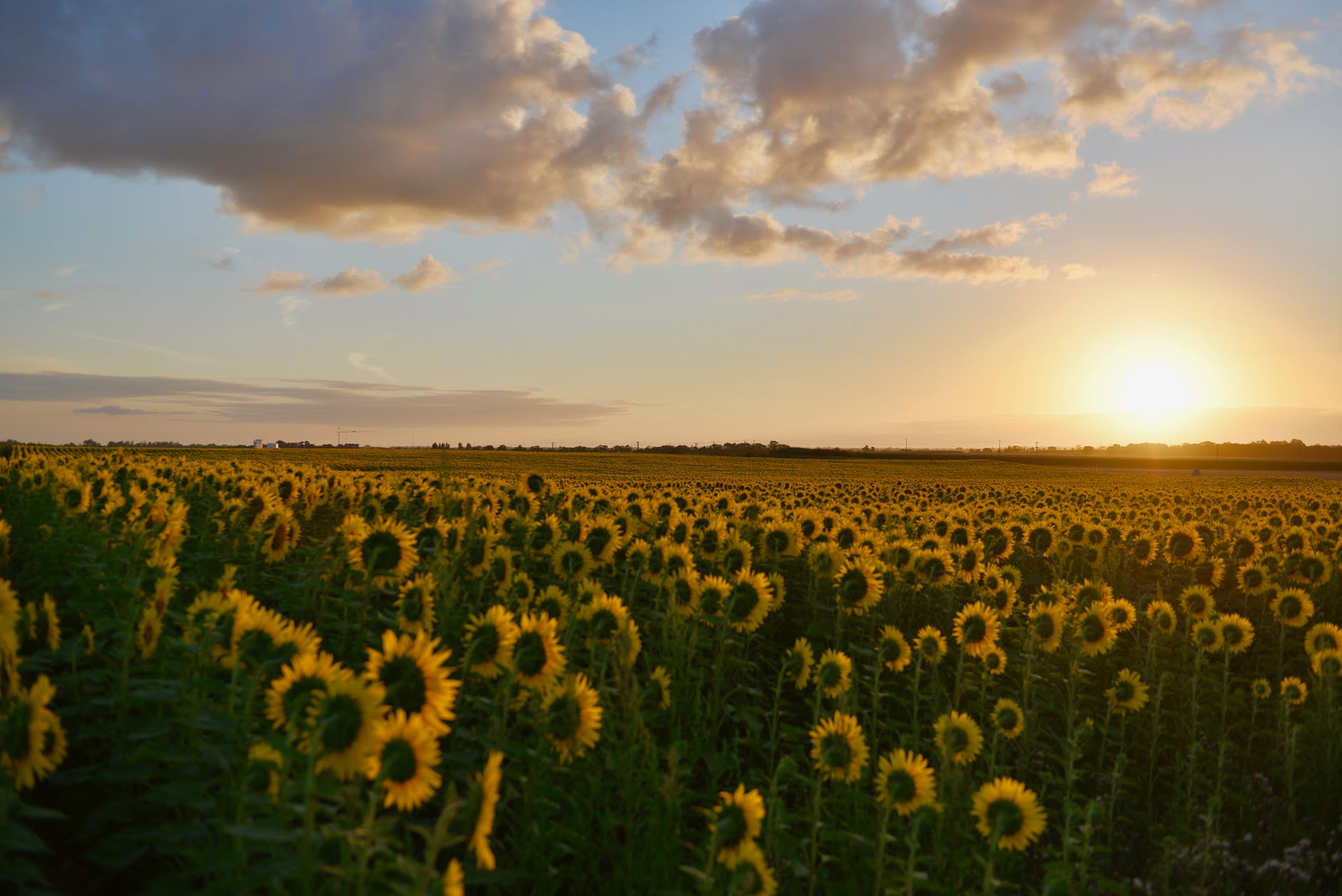 Sunflowers in a field all bending towards the sun